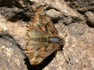 False Mallow Skipper